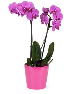 Orchidee violette 2 branches avec pot
