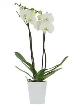 Orchidee blanche 2 branches avec pot