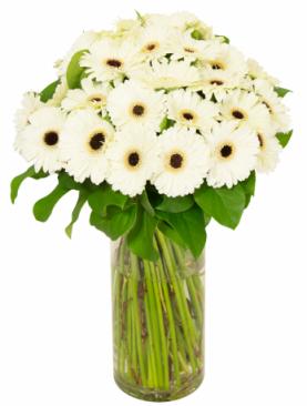 Bouquet de gerbera blancs